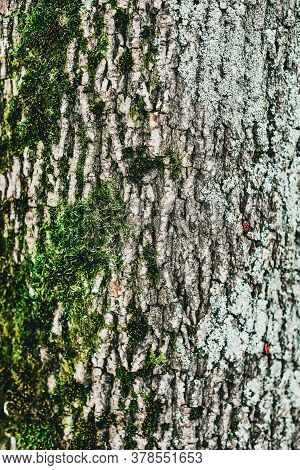 Background Of Tree Bark. The Texture Of The Old Trees.