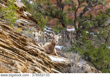Close Up Picture Of Two Cute Goose In The Zion National Park In Winter
