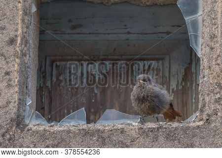 Bird Black Redstart  Juvenile Phoenicurus Ochruros Perched On A Broken Glass