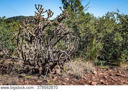 Cylindropuntia Acanthocarpa, Commonly Referred To As Staghorn, Or Buckhorn, Cholla, Is A Cholla Nati