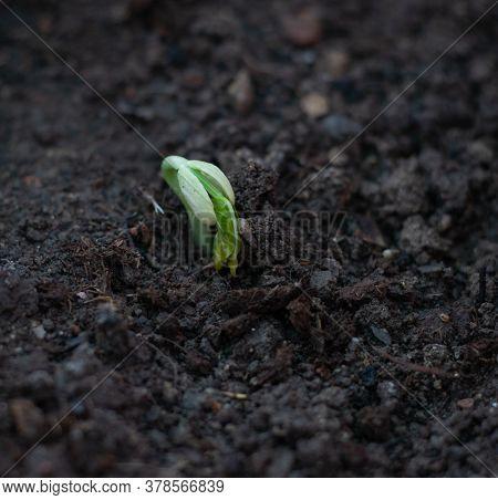 Germinating Beans. Bean Germination In Ground. Seed Germination.