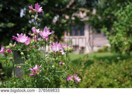Beautiful Village House. Bush With Delicate Pink Flowers. Village Concept