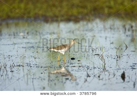 A greater Yellowlegs searches for food in a puddle of rainwater runoff poster