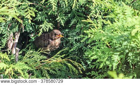 Young Fledgling Blackbird In Thuja Branches Waiting To Be Fed By Parent.