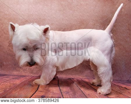 West Highland White Terrier Dog Isolated On Vintage Background. The Dog Is Provided With Animal Care