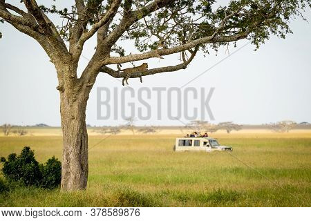 Safari Vehicle Watching A Leopard Resting In A Tree In Serengeti National Park In Tanzania