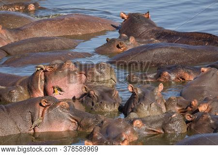 Pod Of Sleeping Hippo Relaxing In A Pool Of Water On A Sunny Afternoon In Serengeti National Park In