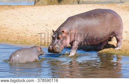 Cute And Small Baby Hippo Walking In Water Towards Mother In Serengeti National Park Tanzania