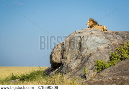 Male Lion Side View Portrait Sitting On A Rocky Kopje On A Beautiful Sunny Day In Serengeti National