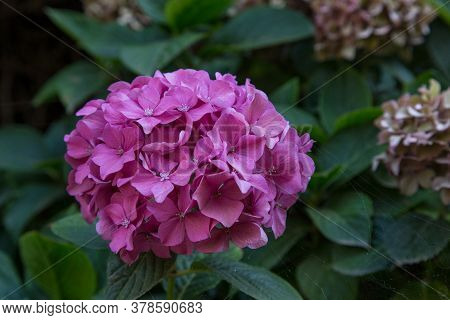 This Is An Inflorescence Of Pink Hydrangea On A Growing Bush