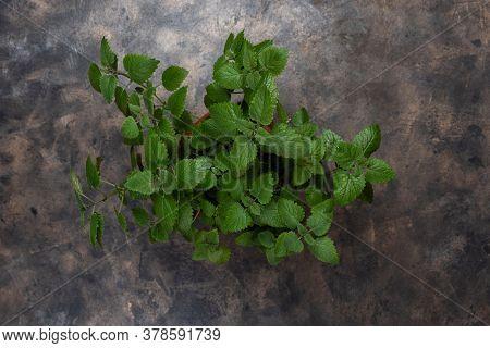Lemon Balm Mint Herb Or Melissa Officinalis On A Dark Background