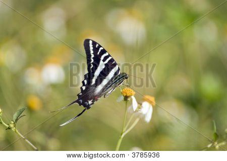 Zebra Swallowtail Butterfly Feeding