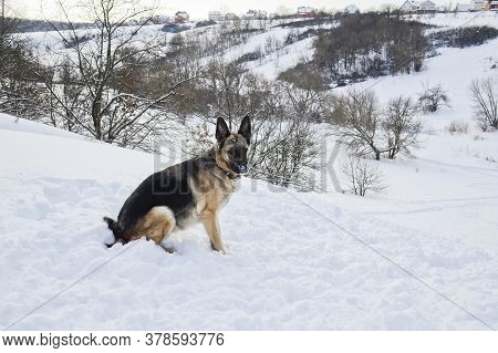 German Shepherd Is Sitting On The White Snow. Dog On A Background Of A Snowy Ravine, Face In The Sno