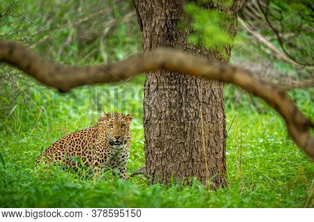Leopard Or Panther Or Panthera Pardus Fusca Head On In Natural Green Background In Monsoon Season Sa