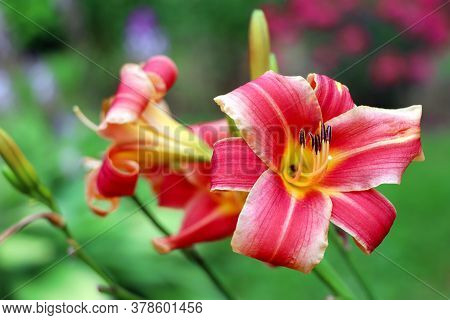 Red Lilium In The Garden. Blooming Lily In The Summer. The Pollen On The Flowers.