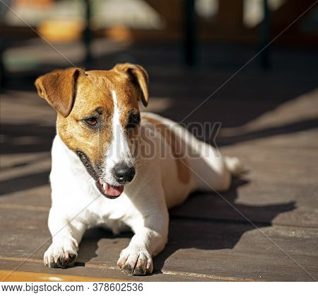 Jack Russell Terrier Lies On Wooden Boards And Bask In The Sun, Rest