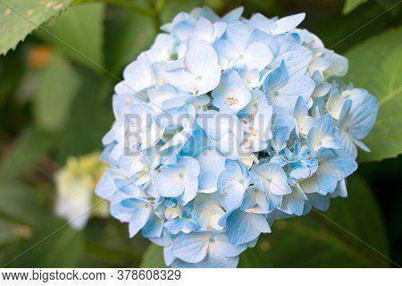 Blue Hydrangea Flower. Booming Hydrangea In Garden. Summer Flower.