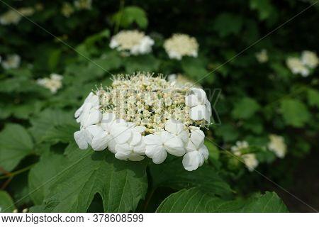 Ivory White Flowers Of Viburnum Opulus In Mid May