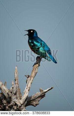 Superb Starling Sings Perching On Tree Stump