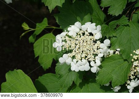 View Of White Corymb Of Viburnum Opulus From Above