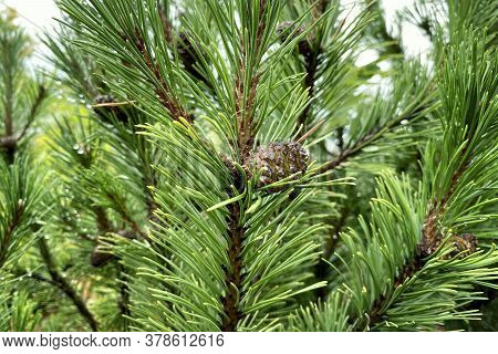 Green Fresh Fir Branch With Cones In Forest On Blurred Background. Medicinal Fresh Plant With Rich S
