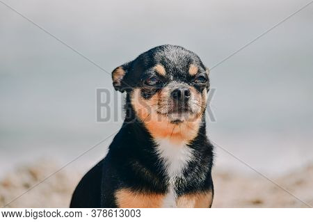 Funny Chihuahua Dog Posing On A Beach. Chihuahua At Sea.