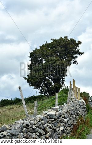 A Windswept, Gnarled Tree By A Dry Stone Wall In Rural North Wales. The Snowdonia National Park On A