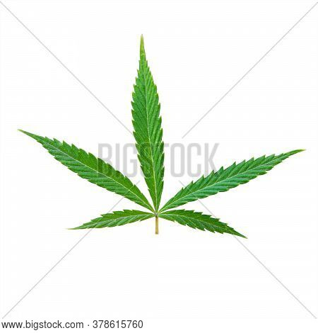 Sprout Of Hemp Grass Isolated On White Background. Legalization Of Cannabis, Marijuana, Herbs Concep