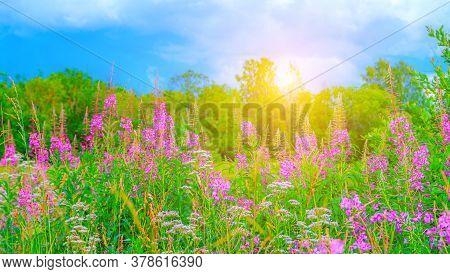 Wild Flowers Ivan-tea A Lot . Field Of Summer Flowers. Pink Flowers. Flower Banner . Summer Picture