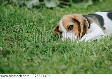 Cute Male Beagle Puppy, 3 Months Old, Laying On The Green Grass