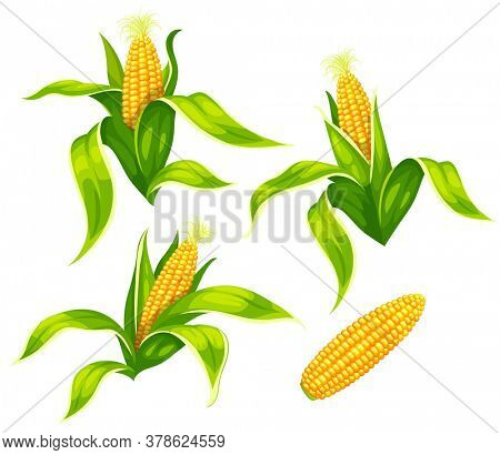 Set of maize corncobs with yellow corns ears and green leaves set, isolated on white transparent background. Ripe corn vegetables. 3D illustration.