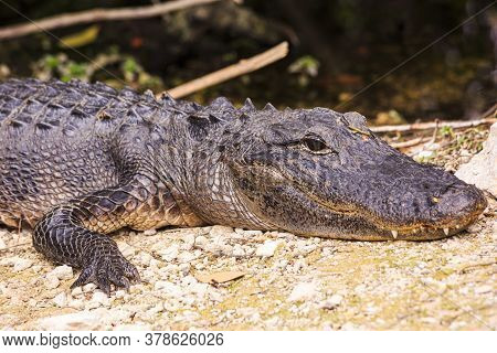 Close Up Picture Of Aligator Head With Teeth In The Everglades In Spring