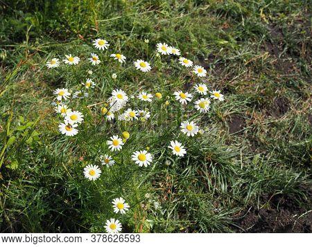 Chamomile Garden White Flowers Of German Chamomile