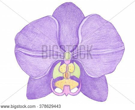 Orchid Phalaenopsis Watercolor Illustration. Beautifull Purple Exotic Flower In A Full Bloom With Gr
