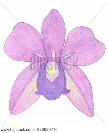 Orchid Phalaenopsis Watercolor Illustration. Beautifull Pink Exotic Flower In A Full Bloom With Gree