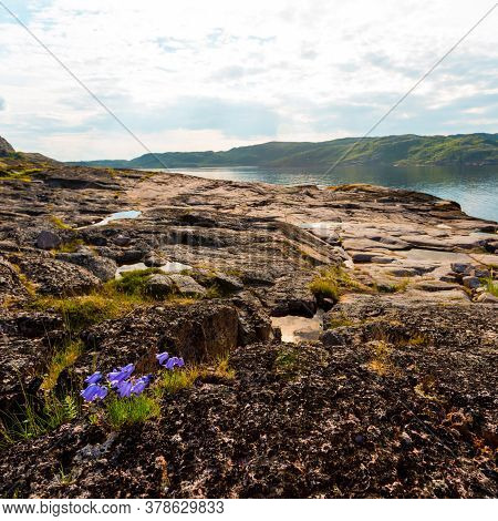 Bluebells Grow In The Tundra In The Northern Polar Summer. Beautiful Coastline Of Barents Sea, Kola
