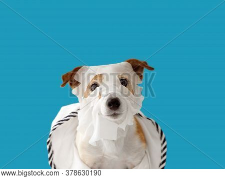 Cute Jack Russell Terrier Dog In Beauty Skin Care Mask Sheet And In A Bathrobe On A Blue Background