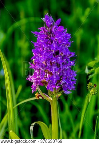 Blossoming Purple Wild Orchid - Perennial Herbaceous Plant (orchis Militaris) Close Up. Wild Rare Pr