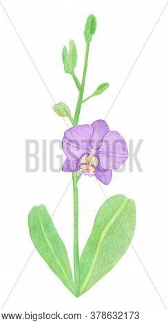 Orchid Phalaenopsis Watercolor Illustration. Beautifull Purple Exotic Flower On A Branch With A Gree