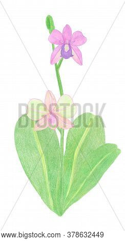 Orchid Phalaenopsis Watercolor Illustration. Beautifull Pink Exotic Flower On A Branch With A Green
