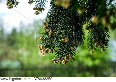Branches Of An Adult Spruce Hang From Above Closeup (macro) Against A Green Garden. At The Tips Of T