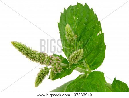 Herb Plant Mint Bloom Leafs Isolated On White