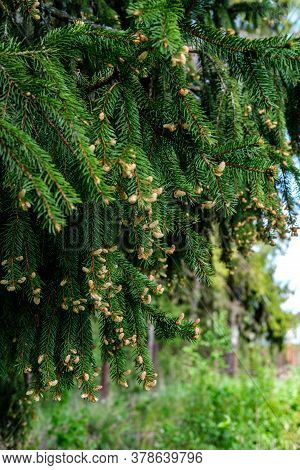 Branches Of An Adult Green Spruce Hang From The Top Left. Beige-brown Spruce Flowers Are Visible At