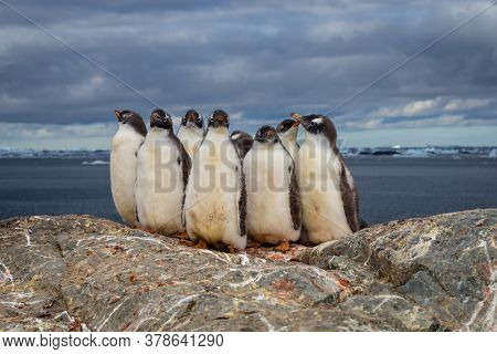 Group Of Gentoo Baby Chick Penguins On The Stone Nest In Antarctica On The Dark Sky Background, Anta