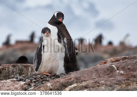 Penguin Family On The Nest In The Colony Of Gentoo Penguins In Antarctica, Antarctic Peninsula