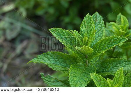 Spearmint Plant Closeup View Mentha Spicata Growing Outdoors