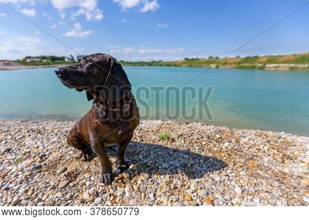 Portrait Of A Hanoverian Hound At A Lake