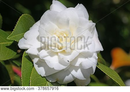 Close Up Of A Camellia Flower In Spring