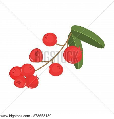 Cranberry Vector Drawing. Isolated Berry Branch Sketch. Cranberry And Leaves On White Background.