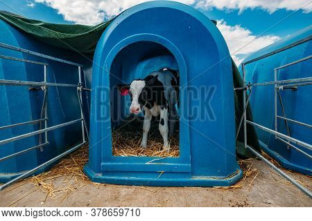 Young Holstein Calf In Blue Calf-house At The Diary Farm